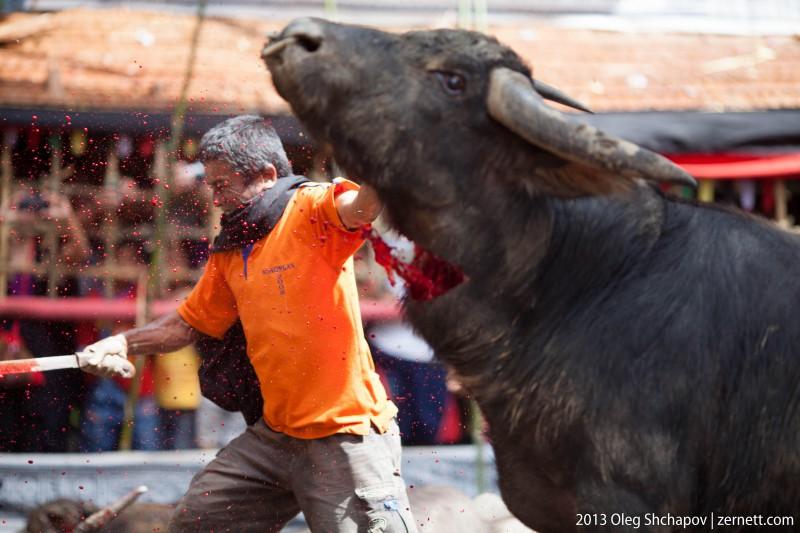 Тана Тораджа. Криваве забивання буйвола у процесі католицького поховання.